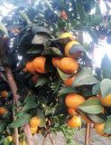 广西桂橙1号农家新鲜甜橙非富川江西赣南纽荷尔脐橙现摘5斤包邮