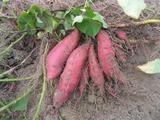 大容山农家自种新鲜花心薯